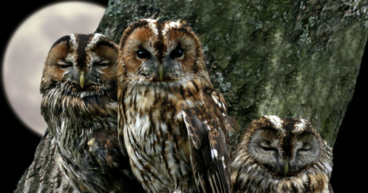 The Truth Bearing Owls Symbol Of Wisdom Wicca Daily